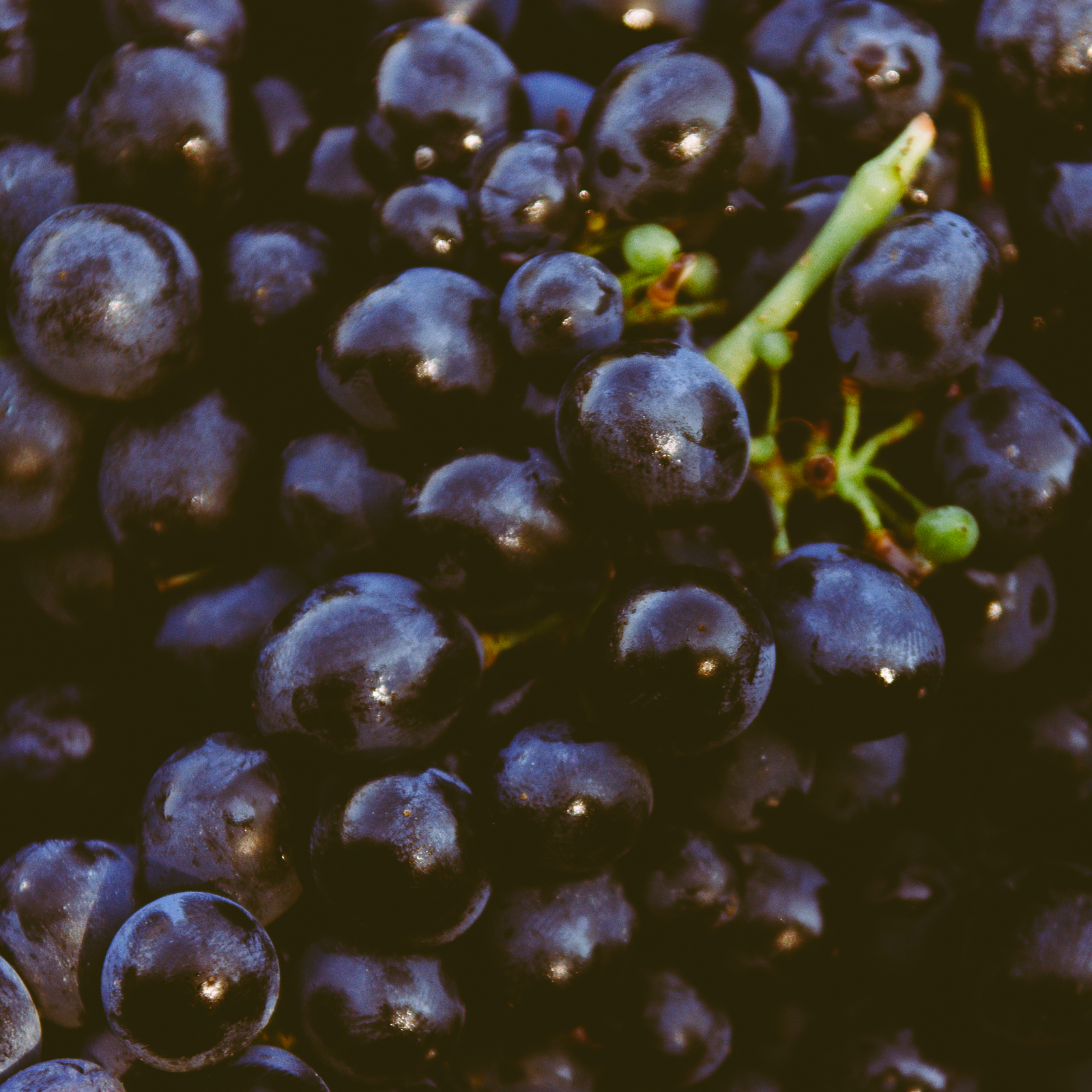 Barbera Grapes, Calosso, Italy
