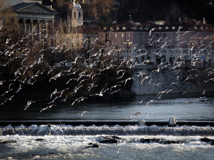 Birds over River Po, Turin Italy
