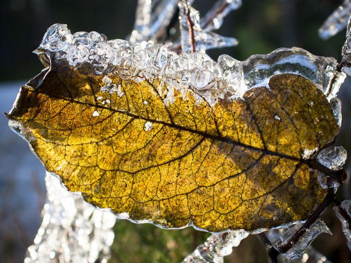 Frozen autumns leaf (Røyken)