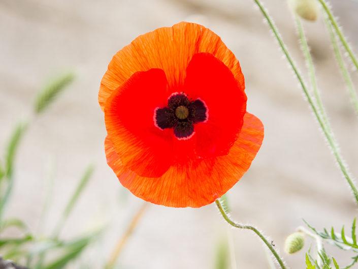 Poppy (Matera)