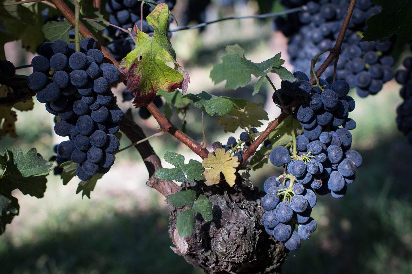 Barbera Grapes, Calosso