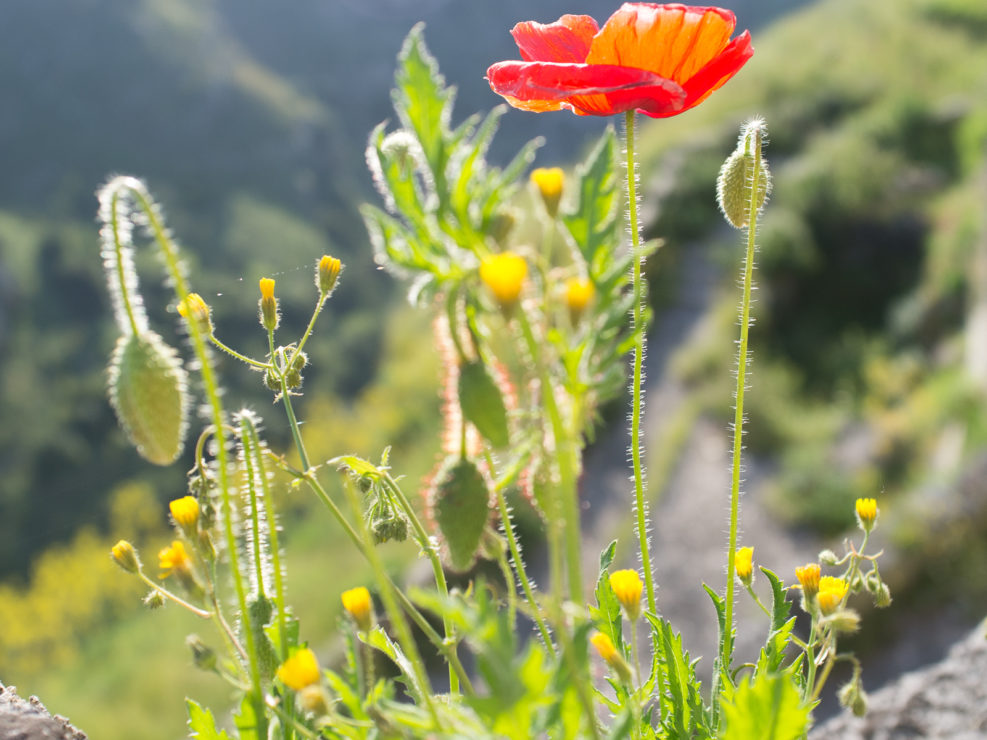 Poppy in Matera