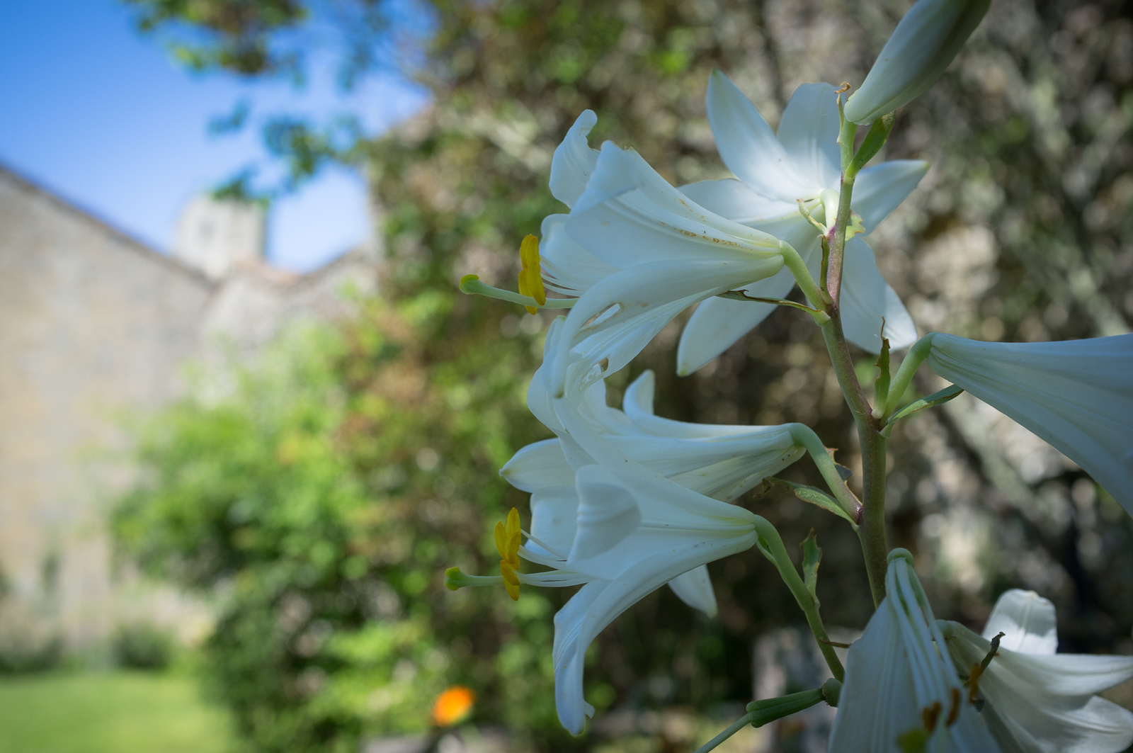 Lilies in the gardens at Maison des Vins